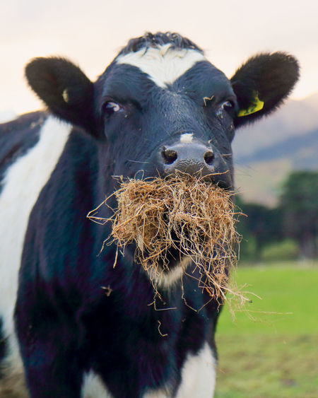 Agriculture Farm Life Animal Animal Head  Animal Themes Cattle Close Up Close-up Cow Cow Eating Hay Day Eating Healthy Farming Field Focus On Foreground Heifer Livestock Livestock Tag Looking At Camera Mammal Nature One Animal Outdoors Portrait Vertebrate