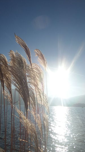 Sunlight Beauty In Nature Lake View Water Idyllic No People Grass In The Sun Silhouette Water Reflection Grasses And Sun Plant