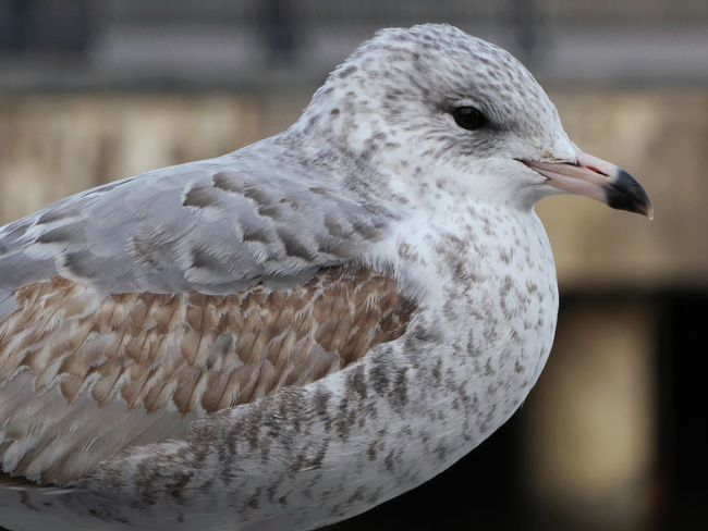 Stately little bastard. Bird Seagull Animal Wildlife Close-up Feathers Beak Animals In The Wild One Animal Animal Themes Day Nature Outdoors Portrait Focus On Subject Blurredbackground Depth Of Field Photography