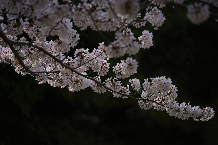 Beauty In Nature Blossom Branch Cherry Blossom Cherry Tree Close-up Day Flower Flower Head Flowering Plant Focus On Foreground Fragility Freshness Growth Inflorescence Nature No People Outdoors Plant Spring Springtime Tree