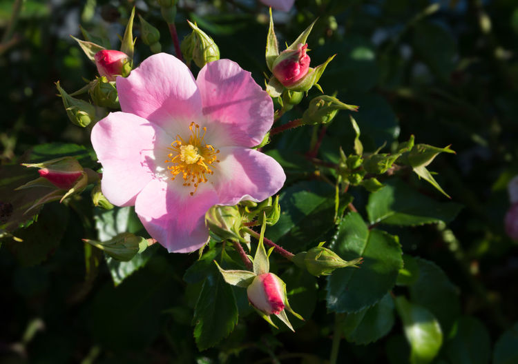 Wild rose. Pink Rosa rugosa or Dog rose closeup in September garden. Pink Beauty In Nature Blooming Close-up Day Dog Rose Flower Flower Head Fragility Freshness Growth Leaf Nature No People Outdoors Periwinkle Petal Pink Color Plant Rosa Rugosa Wild Rose