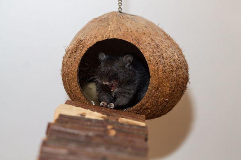 Gerbil Ratón Tiere Animals Animales Mouse Rennmaus Maus Mude Tired Gähn Gähnen Bostezo Cansado Yawning Rennmaus Moritz ist müde...