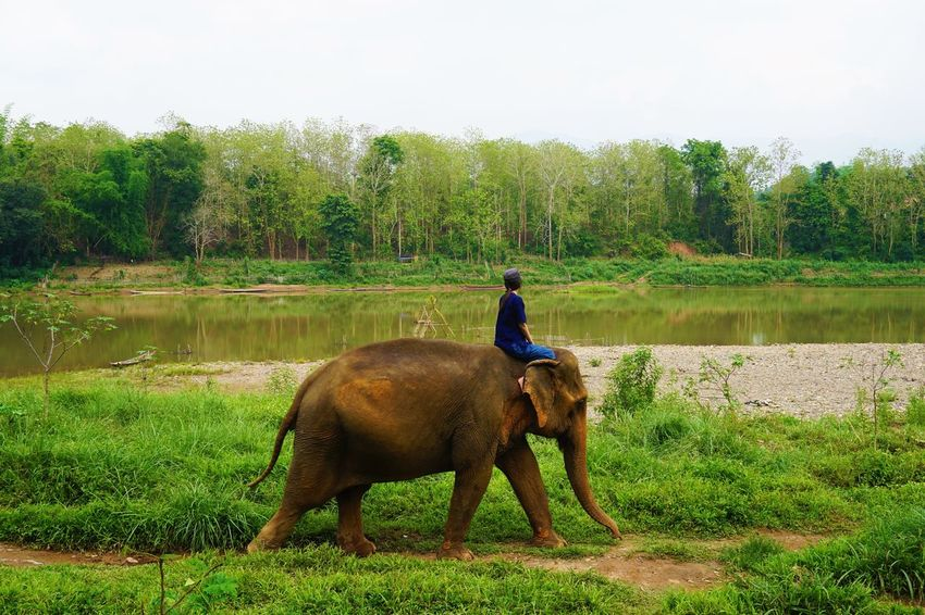 2017 Asian Elephant Beauty In Nature Day Elephant Forest Grass Landscape Laos Luang Phabang Luang Prabang MAHOUT LODGE Mammal Mekong River Nature One Animal Outdoors Real People Sky Tree Water World Heritage ラオス ルアンパバーン 象
