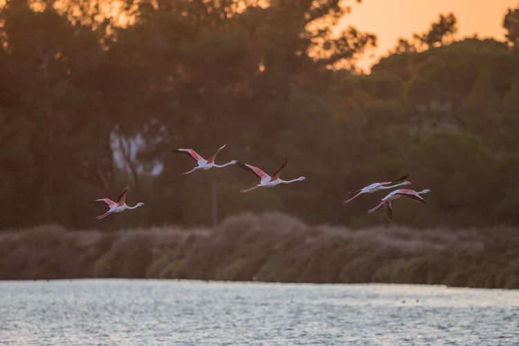 View of birds flying over lake at sunset