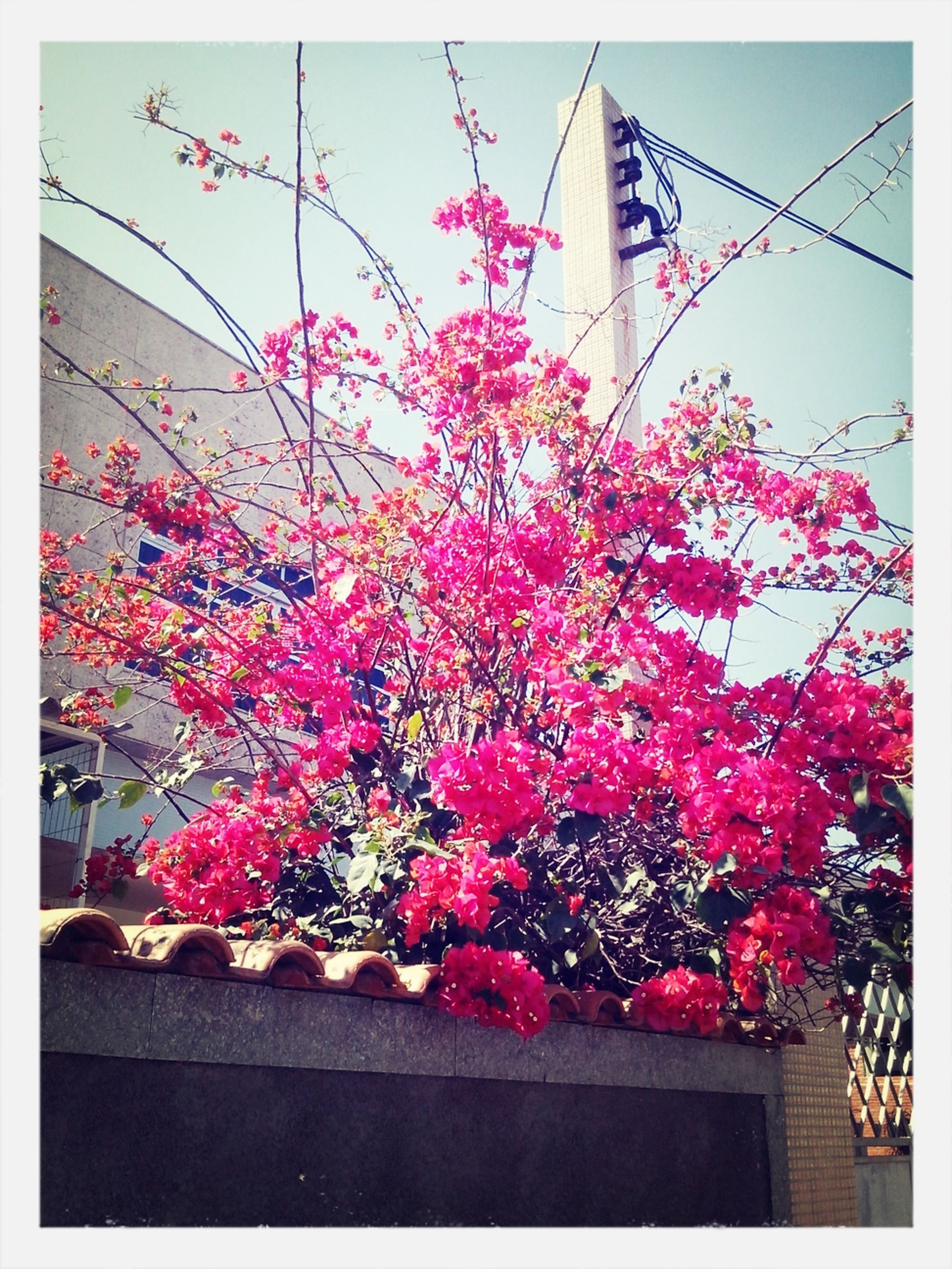 flower, transfer print, low angle view, freshness, growth, pink color, built structure, fragility, auto post production filter, building exterior, architecture, red, blossom, tree, nature, branch, in bloom, beauty in nature, pink, blooming