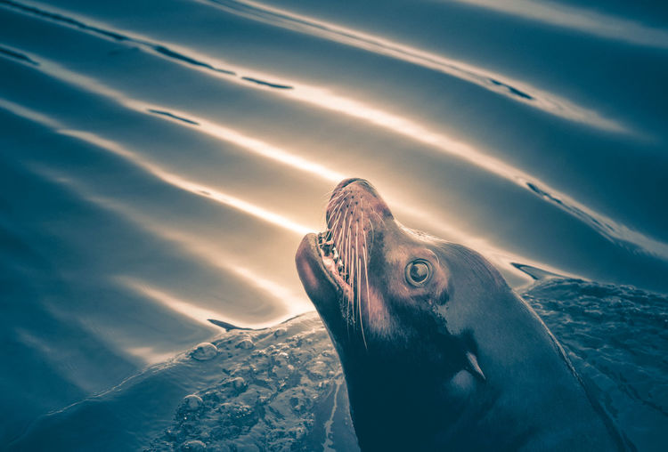 EyeEm Nature Lover Animal Themes Animal Wildlife Animals In The Wild Beauty In Nature Close-up Day Fish Mammal Nature No People One Animal Outdoors Sea Sea Life Seal Swimming UnderSea Underwater Water