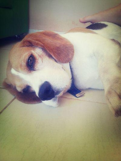 beagle tranquilaço ☆