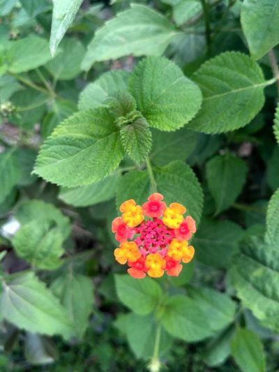 flower Flower Head Flower Lantana Camara Zinnia  Leaf Pink Color Petal Lantana Close-up Blooming