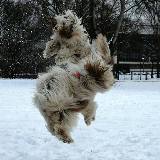 Sibilings Meysi&Sammy flying and having fun together. Wintertime Playing Jumping Bearded Beardedcollie Dog Dogs Havinfun Animals Snow ❄ Flying High Dogs Of EyeEm Enjoying Life Eyeemgallery Eyemphotography EyeEm Best Shots Frommypointofview Nopeople Dogs In The Snow Dogstyle Dogslover Dogs Playing  Dogsofeyeem Bearded Collie Blikebeardie