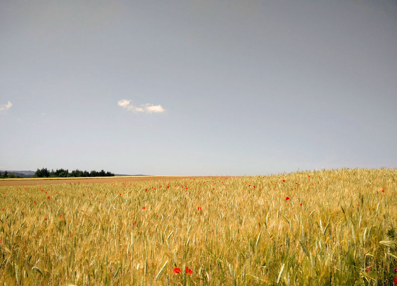 Summer Views Agriculture Barley Barley Field Beauty In Nature Cereal Plant Clear Sky Crop  Field Growing Food Growth Horizon Over Land Landscape Nature Nutrition Poppy Poppy Flowers Rural Scene Sky Summer