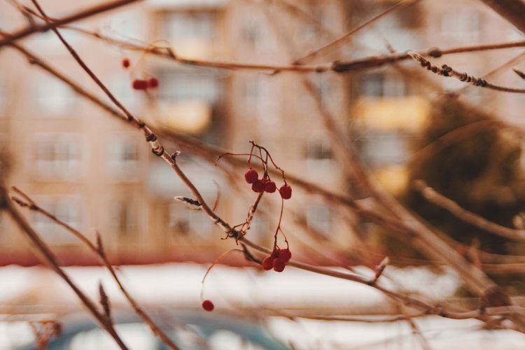 Close-up of berries on branch during winter