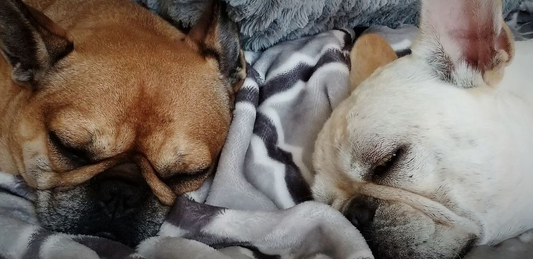 dreaming about swimming! Frenchbulldog Frenchielove Dream Big Aim High EyeEm Selects Pets Dog Close-up Sleeping Napping Laziness Eyes Closed