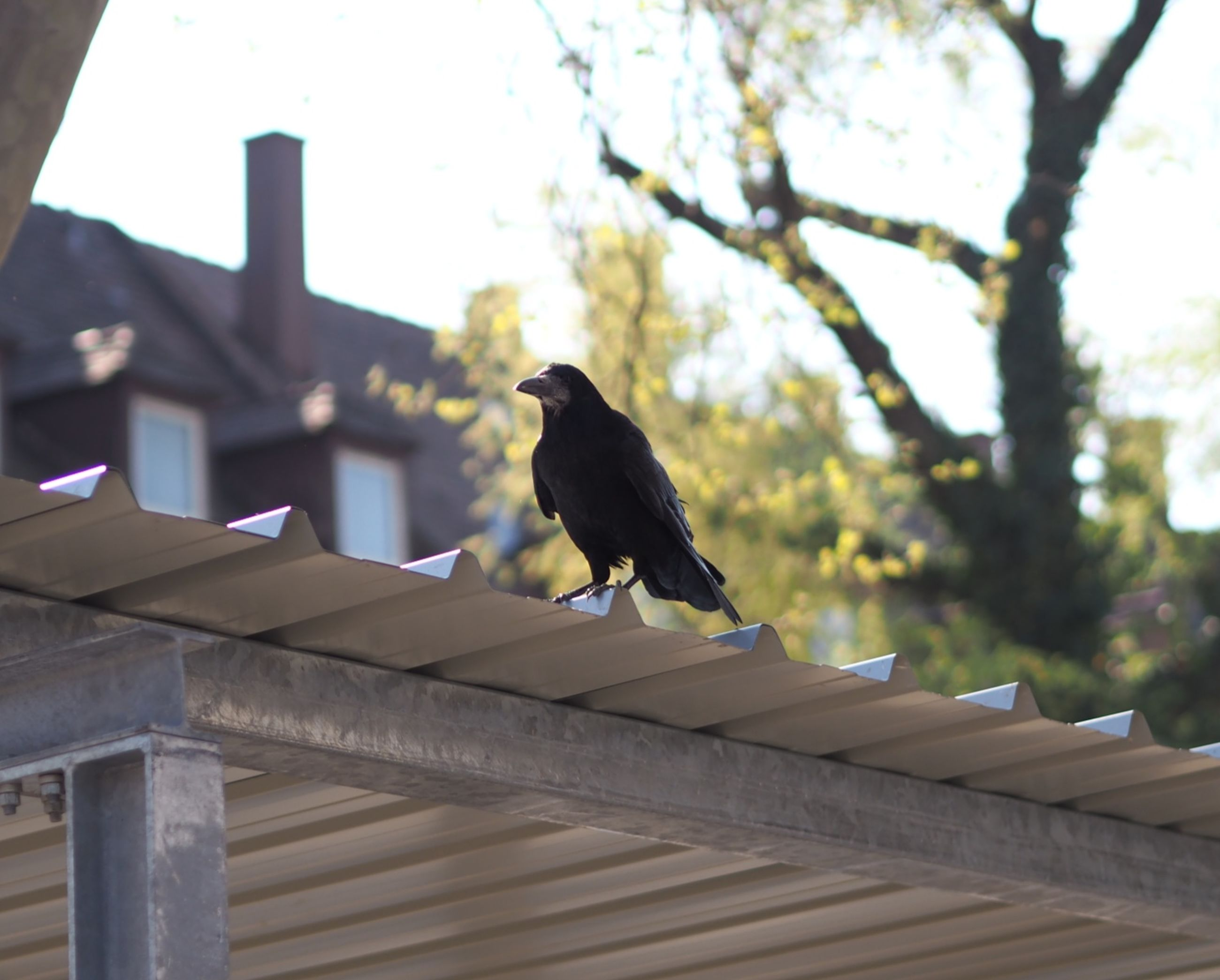 animal, animal themes, bird, animal wildlife, wildlife, one animal, perching, architecture, tree, nature, no people, day, built structure, outdoors, low angle view, roof, wood, focus on foreground, sky, raven, crow, branch, building exterior, plant
