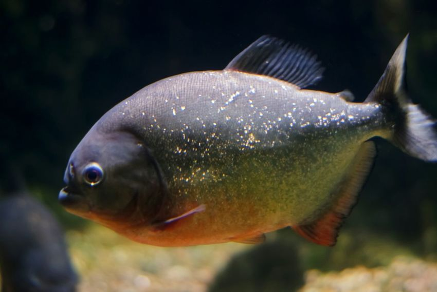 Piranha Fish Aquarium Zoo Traveling Nature Predator Theme Park Tampere Finland