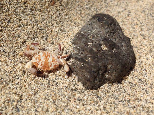 Beach Crab Gran Canaria Amadores