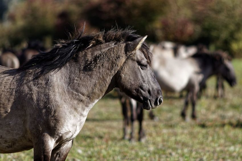 Headshot Konik Horses Mammal Animal Themes Animal Animal Wildlife Side View Focus On Foreground Vertebrate Animals In The Wild Outdoors