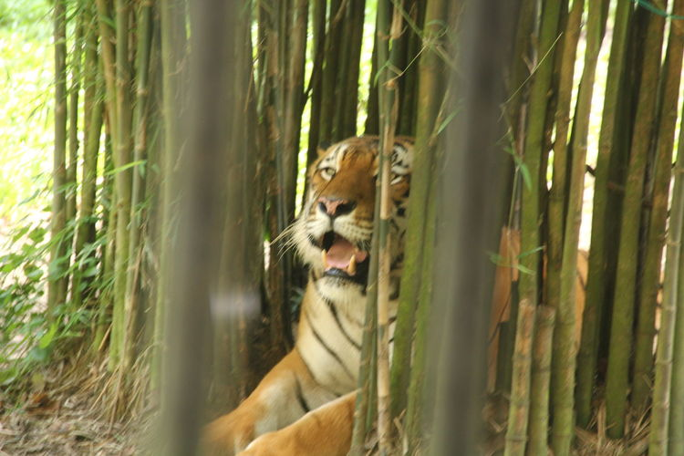 Tiger in Zoo Of