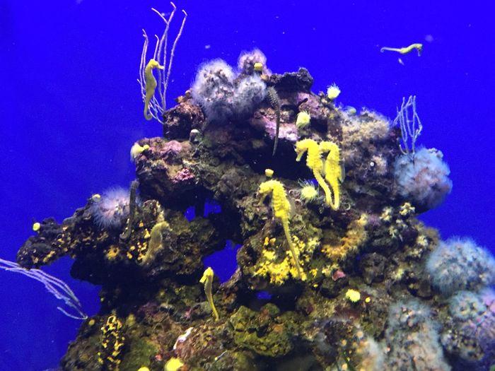 Underwater Seahorses