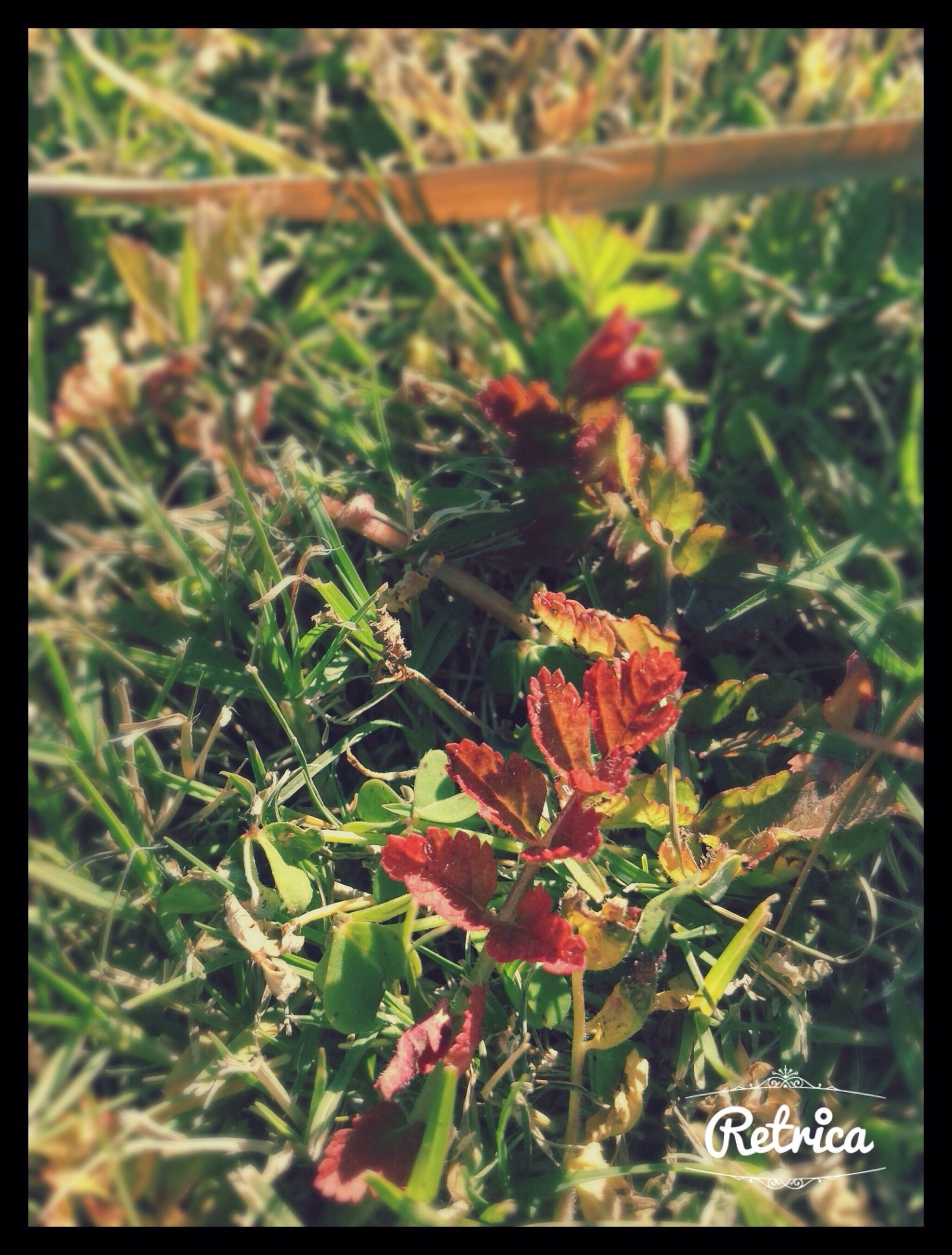 transfer print, auto post production filter, growth, focus on foreground, plant, grass, flower, close-up, nature, field, green color, beauty in nature, selective focus, day, outdoors, red, leaf, no people, freshness, fragility