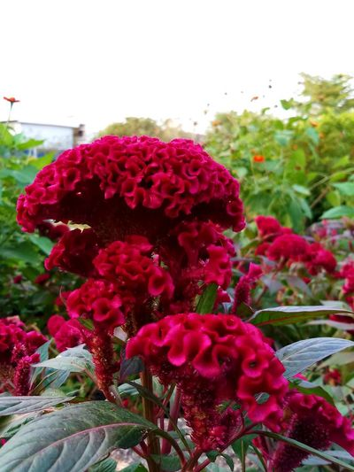 Beauty In Nature Bunch Of Flowers Close-up Day Flower Flower Arrangement Flowering Plant Focus On Foreground Fragility Freshness No People Outdoors Plant Red Sky