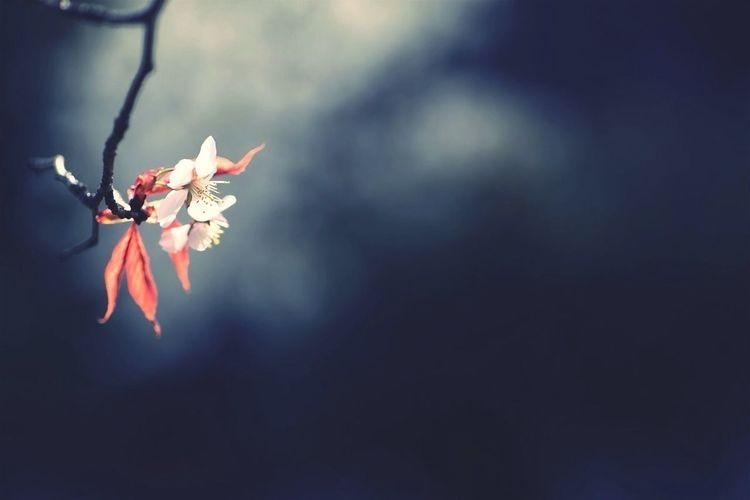 Sakura Flower Plants Cherry Blossoms Pinkblackwhite