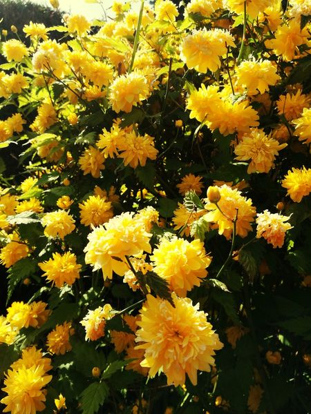 🌻🌻🌻🌹🌹🌹😜Yellow Flower Growth Beauty In Nature Fragility Nature Petal Flower Head Freshness No People Sunflower Close-up Blooming Plant Outdoors Backgrounds Day Tree Yellow Color Chrysanthemum