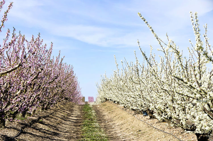 almond trees in a rows Almondtree Cloudy Flowers In A Row Landscape Nature Orchard Peachtree Rural Scene Scenics Sky Tree White