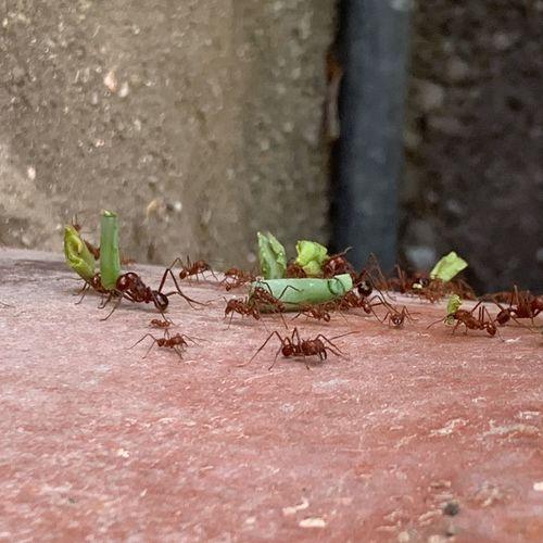 "Ants""Talatas"""