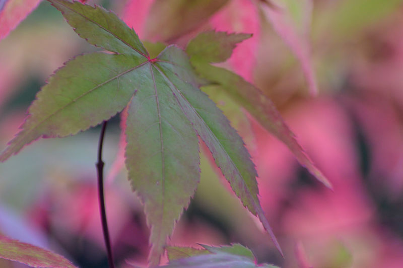 Close-up of pink leaves
