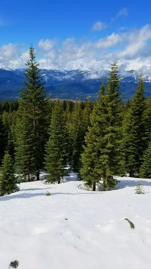 Snow Pinaceae Tree Winter Cold Temperature Pine Woodland Landscape Beauty In Nature Mountain Range Cloud - Sky Nature No People Outdoors Mountain Sky Day Freshness Backgrounds Scenics Tranquility Hiking Freshness Mt Shasta Tranquil Scene Beauty In Nature