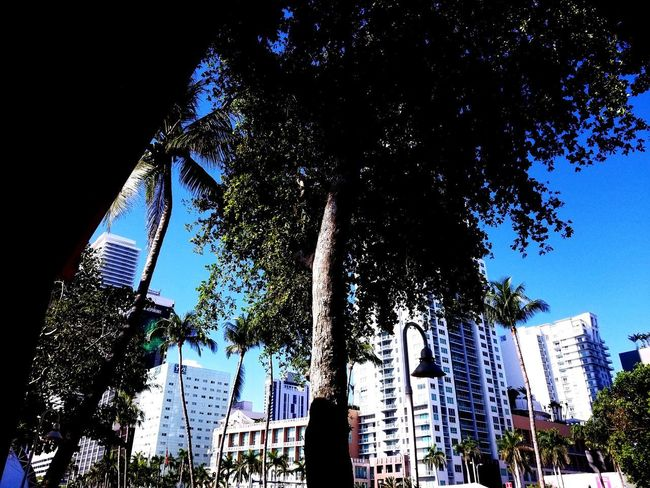 Miami mornings. Tree Miami Skyscraper Sitting Tree City Blue Sky Architecture Downtown High Rise