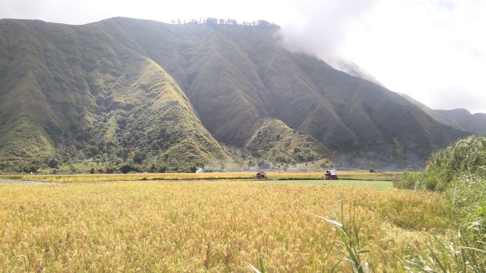 Neverland Agriculture Rural Scene Farm Field Cereal Plant Nature Farmer Landscape Mountain Outdoors Scenics Day Beauty In Nature Terraced Field Rice Paddy Irrigation Equipment Tree Sembalun Lombok-Indonesia Wonderfulindonesia Conected Whit Travel Photography Tranquility Landscape_Collection Takenbyme
