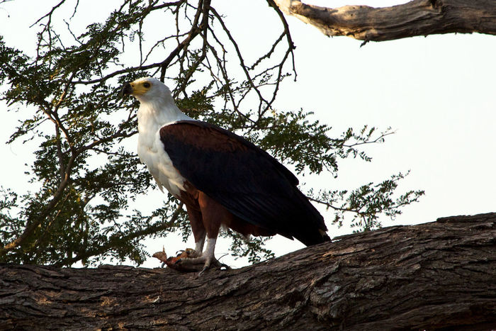 African fish-eagle Eagle Kruger Park South Africa Wild Animal Africa African Fish Eagle Animal Wildlife Animals In The Wild Bird Branch Day Fish Eagle No People One Animal Outdoors Tree