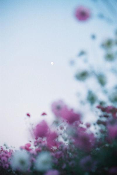 EyeEm Nature Lover EyeEm Best Shots Film Moonlight コスモス Autumn 35mm Film Nikonf2 Flowerporn From My Point Of View