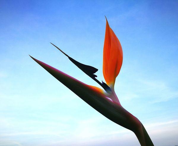 Strerlitzia flower ...😄😄😄😄...uccello Del Paradiso