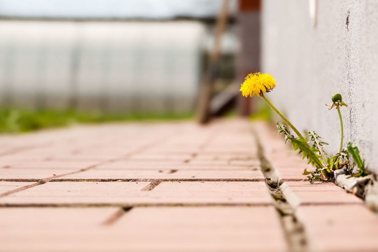 Close-up of yellow flowering plants on footpath