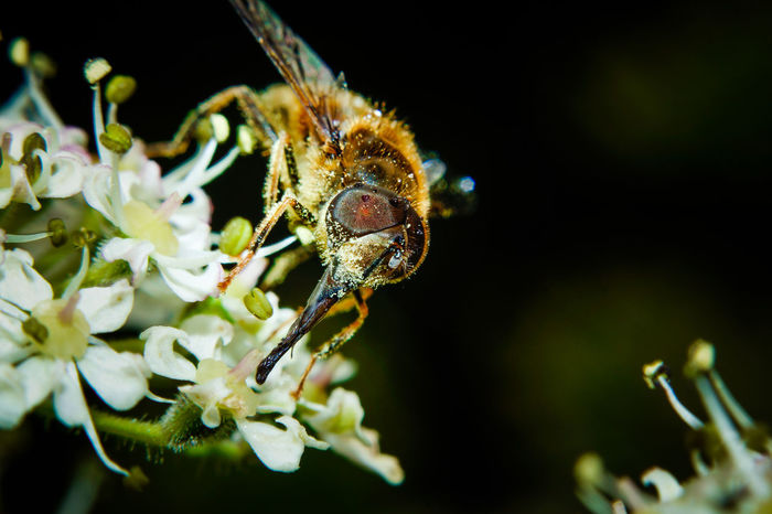 Hoverfly with Pollen EyeEm Nature Lover EyeEmNewHere Macro Beauty Macro Photography Animal Themes Animals In The Wild Beauty In Nature Close-up Flower Flower Head Fragility Freshness Hoverfly Insect Insects  Macro Macro Nature Nature Night No People One Animal Outdoors Plant Pollen Pollenation