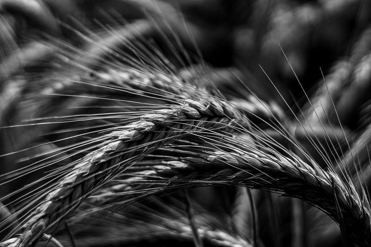 Monochrome monochrome photography Blackandwhite B&w Canon Canonphotography Canon1200d Canon1200DPhotography Canon1200D+EF Lens 50mm Outdoors Outdoor Photography Nature Nature Photography Beauty In Nature Cereal Day Cereal Plant Wheat Agriculture Close-up The Street Photographer - 2019 EyeEm Awards The Minimalist - 2019 EyeEm Awards My Best Photo