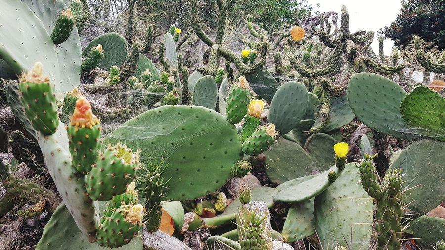big cactus in