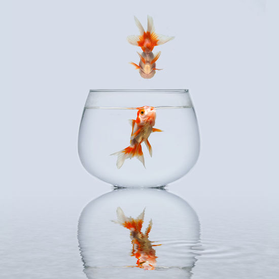 A golden fish jumping onto a bowl to save his girl friend Animal Themes Close-up Day Fish Fishbowl Goldfish Indoors  No People One Animal Pets Sea Life Studio Shot Swimming Water White Background