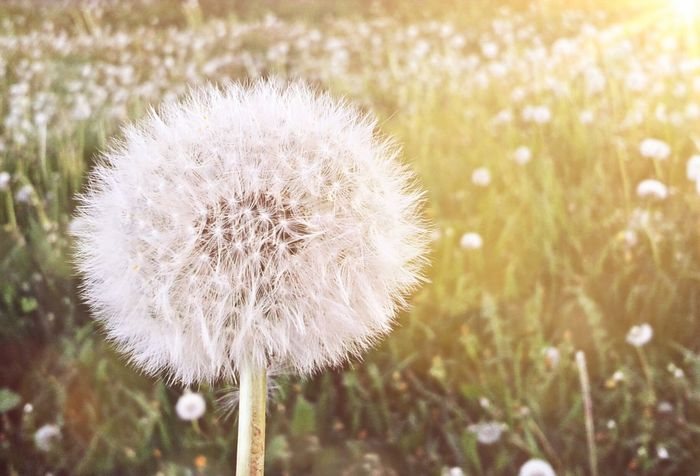 Beauty In Nature Close-up Dandelion Dandelions Focus On Foreground Freshness Hellospring Macro Mobile Photography Mobilephoto Mobilephotography Nature Nature No People Outdoors Plant Seasons Softness Spring Springtime Sunny Sunny Day White