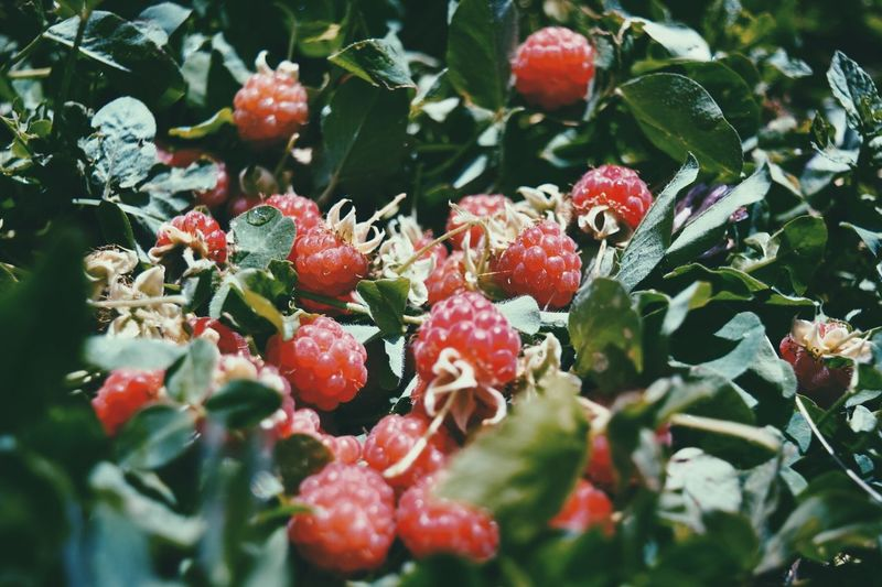 Growth Fruit Nature Red Food And Drink Freshness Outdoors Close-up Leaf Berry Fruit No People Beauty In Nature Tree Plant Day Food Rowanberry Healthy Eating Travel Tranquility EyeEmNewHere The Great Outdoors - 2017 EyeEm Awards