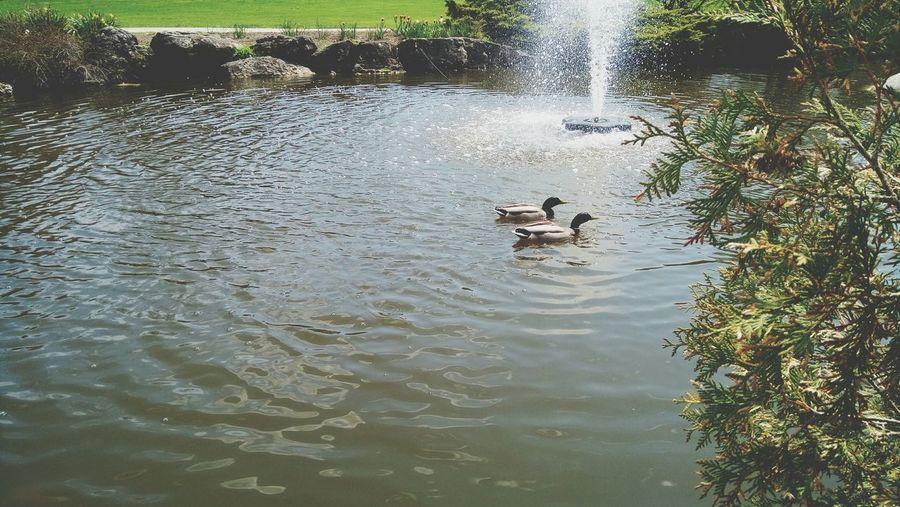 Oakville Townofoakville Downtownoakville Gardens Lakeshore Ducks In Water Relaxing Lillypads Beautiful Nature Likeforlike #likemyphoto #qlikemyphotos #like4like #likemypic #likeback #ilikeback #10likes #50likes #100likes #20likes #likere