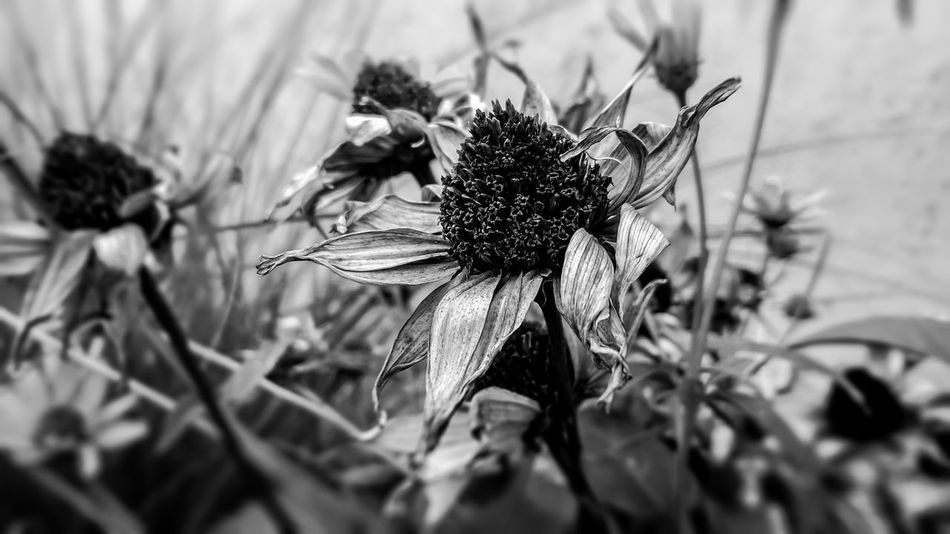 Beauty In Nature Blooming Blossom Botany Close-up Day Dead Dry Flower Flower Head Focus On Foreground Fragility Freshness Green Color Growth In Bloom Nature No People Outdoors Petal Plant Pollen Pollination Selective Focus Stem Black And White Friday