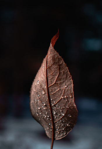 Close-Up Of Dried Maple Leaf On Plant
