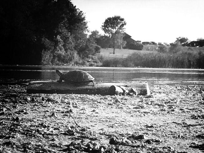 Painted turtle sun bathing. Turtle Kayak Fishing Nature EyeEm Nature Lover