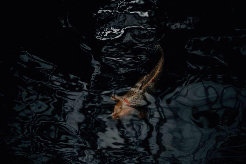 Koi fish in the water Water Vertebrate Swimming Nature Waterfront Animal Wildlife Underwater Fish Reflection Marine Animals In The Wild