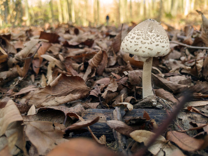 autumn Toadstool Fly Agaric Mushroom Fungus Fly Agaric Mushroom Close-up Edible Mushroom Leaves Growing Young Plant Fallen