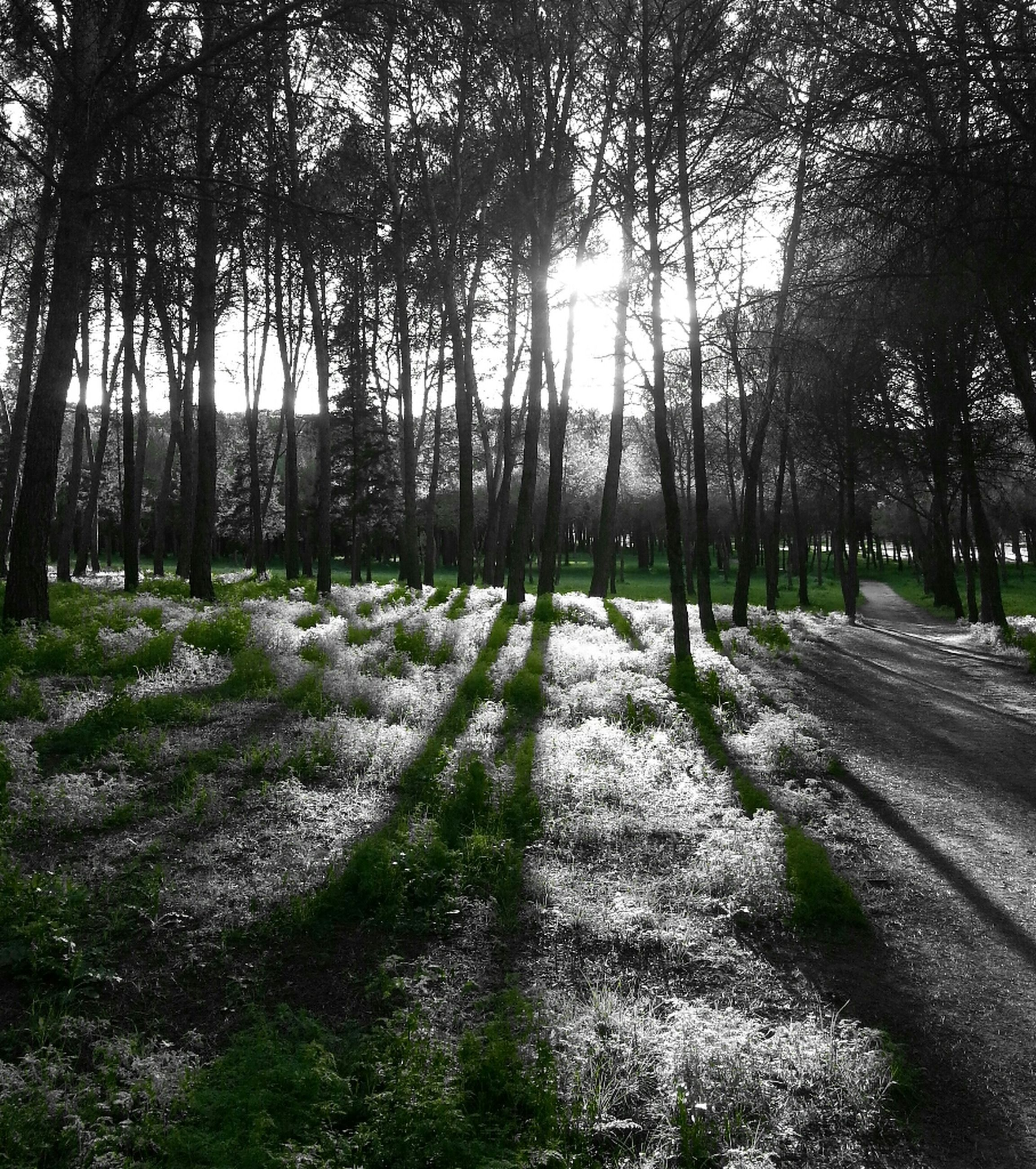 tree, the way forward, diminishing perspective, sunlight, tree trunk, vanishing point, treelined, growth, nature, tranquility, road, footpath, transportation, shadow, tranquil scene, dirt road, day, park - man made space, outdoors, sunbeam