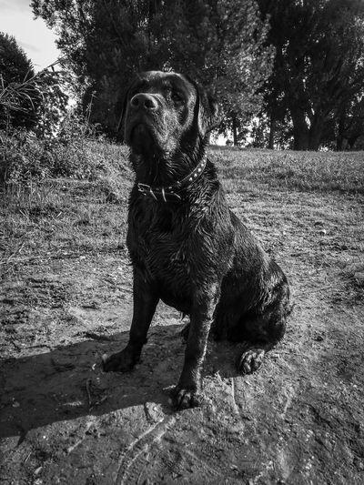 Lab Labrador Labrador Retriever Black Lab Black Labrador Proud Dog Wet Dog